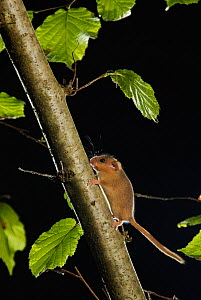 Hazel dormouse (Muscardinus avellanarius) running up branch in coppiced hazel tree, Kent, UK. Photographed in wild under licence with remote camera (camera trap), October  -  Terry Whittaker / 2020VISION