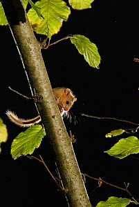 Hazel dormouse (Muscardinus avellanarius) on branch in coppiced hazel tree, Kent, UK. Photographed in wild under licence with remote camera (camera trap), October - Terry Whittaker / 2020VISION