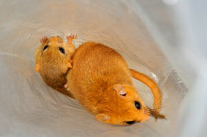 Hazel dormouse (Muscardinus avellanarius), Kent, UK. Members of Kent Mammal Group conduct monthly dormouse survey. Adult and juvenile in bag, August 2011, model released. - Terry Whittaker / 2020VISION