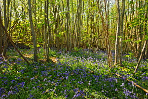 Hazel dormouse (Muscardinus avellanarius),  Chestnut coppice and Bluebells (Hyacinthoides non-scripta). Careful chestnut and hazel coppicing benefits dormice. Kent, UK, April 2011 - Terry Whittaker / 2020VISION