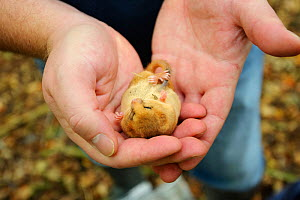 Hazel dormouse (Muscardinus avellanarius), Kent, UK. Members of Kent Mammal Group conduct monthly dormouse survey, Torpid dormouse in hand, October 2011, Model released. Did you know? Despite sleeping... - Terry Whittaker / 2020VISION