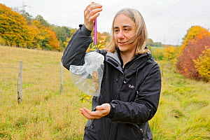 Hazel dormouse (Muscardinus avellanarius), Kent, UK. Members of Kent Mammal Group conduct monthly dormouse survey. Lesley Mason weighs a dormouse, October 2011, Model released.  -  Terry Whittaker / 2020VISION