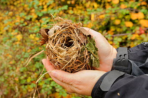 Hazel dormouse (Muscardinus avellanarius), Kent, UK. Members of Kent Mammal Group conduct monthly dormouse survey, volunteer holding a Dormouse nest, October 2011, Model released.  -  Terry Whittaker / 2020VISION