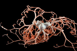 Deepsea Basket star (Gorgonocephalus sp) from coral seamount in the Indian Ocean, November 2011 - David Shale