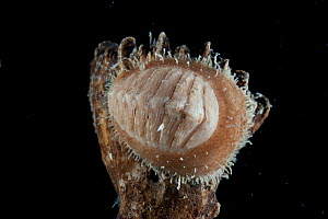 Deepsea Chiton (Polyplacophora) from a coral seamount in the Indian Ocean, November 2011 - David Shale
