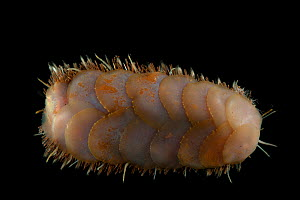Dorsal view of deepsea Polynoid scale worm (Polychaetae) from Dragon vent field, Indian Ocean, November 2011  -  David Shale