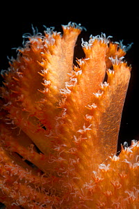 Detail of deepsea Sea pen (Pennatulacea) from coral seamount, Indian Ocean, December 2011 - David Shale