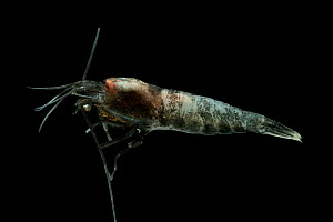 Deepsea shrimp (Decopoda) from smoker chimney in Dragon vent field, Indian Ocean, November 2011 - David Shale
