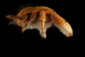Lateral view of deepsea Yeti crab (Kiwa sp) from Dragon vent field, Indian Ocean, November 2011 - David Shale