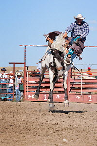 An Indian cowboy losing his balance from a bronc or wild paint horse during the All Indian Rodeo, at the annual Indian Crow Fair, Crow Agency, near Billings, Montana, USA, August 2011, Sequence 2/3  -  Kristel Richard