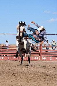 An Indian cowboy has lost his balance from a bronc or wild paint horse during the All Indian Rodeo, at the annual Indian Crow Fair, at Crow Agency, near Billings, Montana, USA, August 2011, Sequence 3... - Kristel Richard