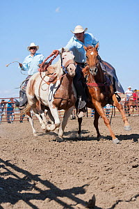 Two Indian cowboys, mounted on quarter horses, try to catch a bronc or wild paint horse during the All Indian Rodeo, at the annual Indian Crow Fair, Crow Agency, near Billings, Montana, USA, August 20...  -  Kristel Richard