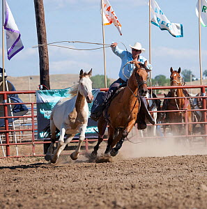 An Indian cowboy, mounted on a quarter horse, tries to catch a bronc or wild paint horse during the All Indian Rodeo, at the annual Indian Crow Fair, Crow Agency, near Billings, Montana, USA, August 2...  -  Kristel Richard