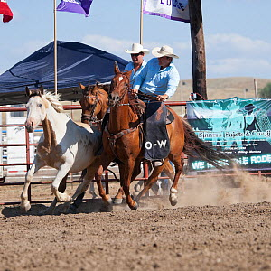 Two Indian cowboys, mounted on quarter horses, try to catch a bronc or wild paint horse during the All Indian Rodeo, at the annual Indian Crow Fair, at Crow Agency, near Billings, Montana, USA, August...  -  Kristel Richard