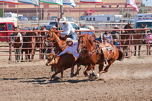 Two Indian cowboys, mounted on quarter horses, try to catch a steer during the All Indian Rodeo, at the annual Indian Crow Fair, at Crow Agency, near Billings, Montana, USA, August 2011  -  Kristel Richard