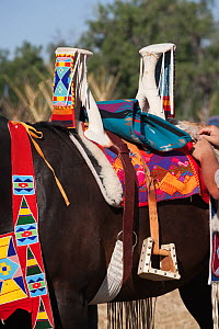 A quarter horse is being saddled for the annual Indian Crow Fair, at Crow Agency, near Billings, Montana, USA, August 2011  -  Kristel Richard