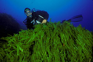 Diver viewing mass of invasive algae (Caulerpa taxifolia), Strait of Messina, Southern Italy  -  Roberto Rinaldi
