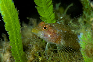 Black faced blenny (Tripterygion delaisi) amongst fronds of invasive algae (Caulerpa taxifolia) Strait of Messina, Southern Italy  -  Roberto Rinaldi