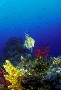 John Dory fish (Zeus faber) on coral reef, Strait of Messina, Southern Italy  -  Roberto Rinaldi