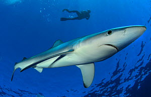 Blue Shark (Prionace glauca) with diver in background. Santa Maria, Azores, September.  -  Nuno Sa