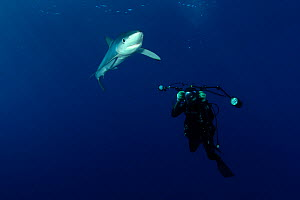 Blue Shark (Prionace glauca) and diver with underwater photographic equipment. Santa Maria, Azores, September.  -  Nuno Sa