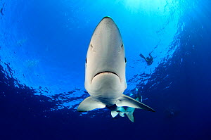 Blue Shark (Prionace glauca) near sea surface and divers in background. Santa Maria, Azores, September.  -  Nuno Sa