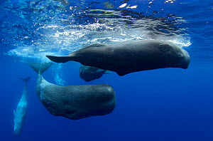 Sperm Whale (Physeter macrocephalus) group of females with calves. Sao Miguel Island, Azores, July.  -  Nuno Sa
