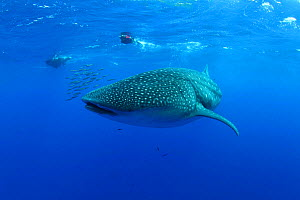Whale Shark (Rhincodon typus) accompanied by Pilot Fish (Naucrates ductor). The biggest fish in the world has only started to visit the Azores in the past three years due to water temperature rise. Sa...  -  Nuno Sa