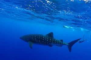 Whale Shark (Rhincodon typus) accompanied by divers. The biggest fish in the world has only started to visit the Azores in the past three years due to water temperature rise. Santa Maria Island, Azore...  -  Nuno Sa