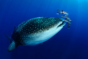 Whale Shark (Rhincodon typus) accompanied by Pilot Fish (Naucrates ductor) and Remora. The biggest fish in the world has only started to visit the Azores in the past three years due to water temperatu...  -  Nuno Sa