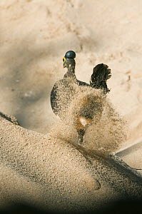 Maleo (Macrocephalon maleo) digging nest in hot sand, Sulawesi, Indonesia, Endangered  -  Kevin Schafer
