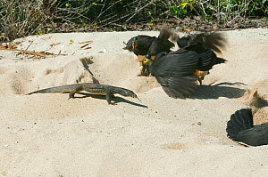 Maleo (Macrocephalon maleo) defending nest from Monitor lizard (Varanidae) Sulawesi, Indonesia, Endangered  -  Kevin Schafer