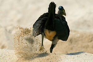 Maleo (Macrocephalon maleo) digging nest hole, Sulawesi, Indonesia, Endangered  -  Kevin Schafer
