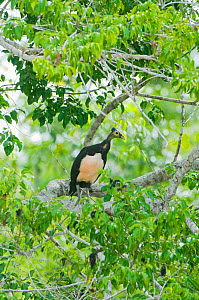 Maleo (Macrocephalon maleo) in tree, Sulawesi, Indonesia, Endangered  -  Kevin Schafer