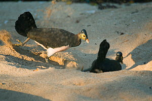 Maleo (Macrocephalon maleo) pair digging hole in hot sand, Sulawesi, Indonesia, Endangered  -  Kevin Schafer
