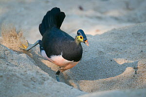Maleo (Macrocephalon maleo) digging hole in hot sand for natural incubation, Sulawesi, Indonesia, Endangered  -  Kevin Schafer