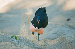 Maleo (Macrocephalon maleo) digging nest hole in hot sand for natural incubation, Sulawesi, Indonesia, Endangered  -  Kevin Schafer