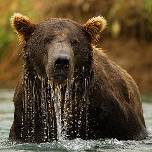 Grizzly Bear (Ursus arctos horribilis) male in water. Coastal Katmai National Park, southwest Alaska, USA, August. - Mary McDonald