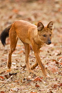 Dhole / Asiatic Wild Dog (Cuon alpinus). Satpura National Park, Madhya Pradesh, India.  -  Mary McDonald