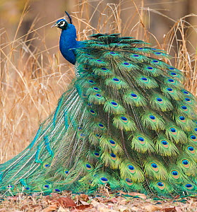 Indian Peafowl / Blue Peafowl / Peacock (Pavo cristatus) male with large display fan tail. Pench National Park, Madhya Pradesh, India. - Mary McDonald
