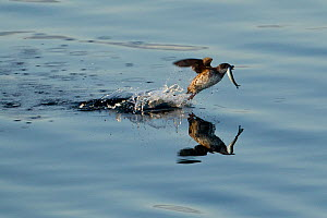 Marbled Murrelet (Brachyramphus marmoratus) taking a fish from sea surface. Endangered species. Frederick Sound, south east Alaska, August.  -  Mary McDonald