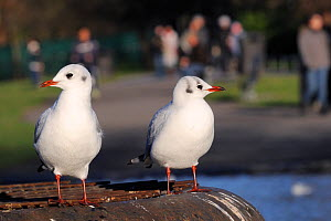 Two Black-headed gulls (Chroicocephalus ridibundus) in winter plumage standing on metal platform in Regent's Park boating lake with people walking in the background, London, UK, January. Did you know?...  -  Nick Upton / 2020VISION