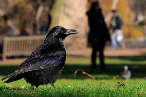 Carrion crow (Corvus corone) foraging on lawn with woman standing in shadow and a man running in the background, St. James's Park, London, UK, January. Did you know? These clever birds have been known...  -  Nick Upton / 2020VISION