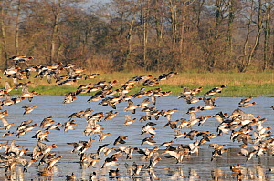 Wigeon (Anas penelope) flock coming in to land on partially frozen flooded marshland in winter, Catcott Lows National Nature Reserve, Somerset Levels, UK, January.  -  Nick Upton / 2020VISION