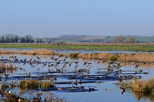 Dense flock of Wigeon (Anas penelope) and Teal (Anas crecca) landing on flooded marshes near stands of Bullrushes (Typha latifolia) in winter, Greylake RSPB reserve, Somerset Levels, UK, January.  -  Nick Upton / 2020VISION