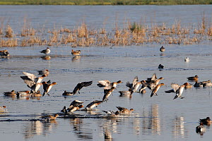 Wigeon (Anas penelope), flock coming in to land on partially frozen flooded marshland in winter, Catcott reserve, Somerset Levels, UK, January.  -  Nick Upton / 2020VISION
