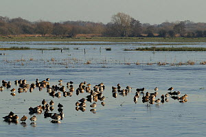 Wigeon (Anas penelope) flock and a few Pintail (Anas acuta) resting on partially frozen flooded marshland in winter sunshine, Catcott Lows National Nature Reserve, Somerset Levels, UK, January.  -  Nick Upton / 2020VISION