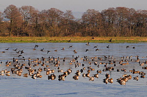 Wigeon (Anas penelope) flocks in flight over and resting on partially frozen flooded marshland in winter, Catcott Lows National Nature Reserve, Somerset Levels, UK, January.  -  Nick Upton / 2020VISION