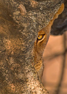 African Lion (Panthera leo) adult looking from behind tree, half hidden. South Luangwa, Zambia, Africa.  -  Andy Rouse