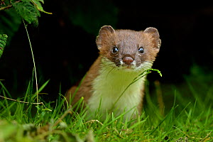 European Stoat (Mustela erminea) portrait. UK, July. - Andy Rouse
